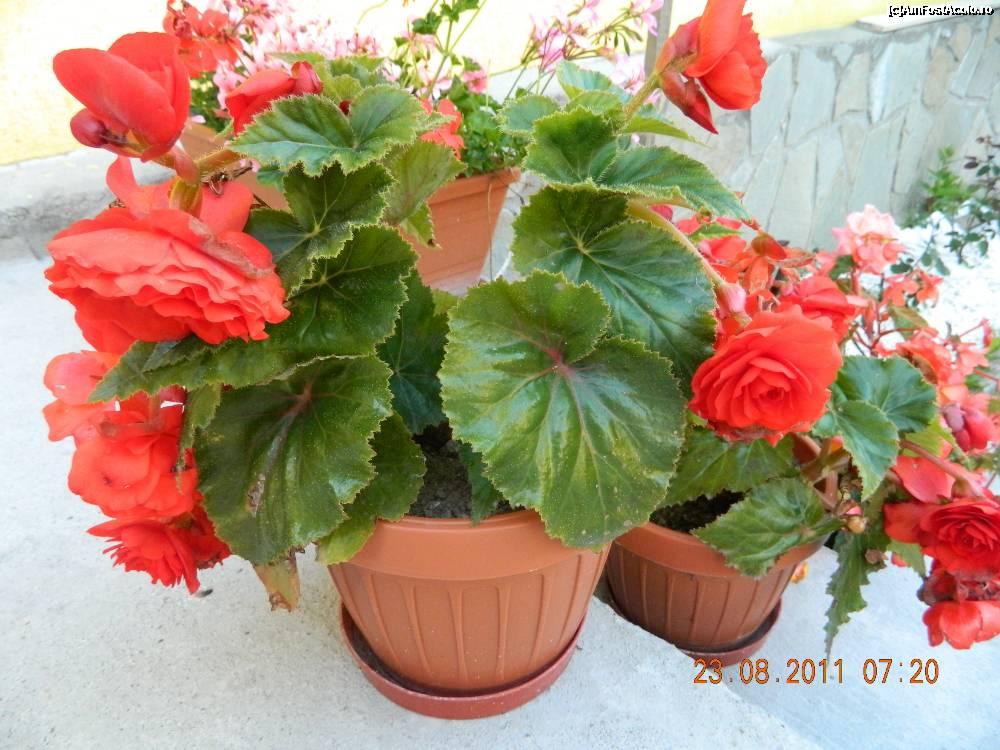 Flori de ghiveci imagini