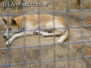 "P10 <small>[JAN-2017]</small> Western Australia - un dingo apatic în GREENOUGH WILDLIFE PARK » foto by gigiiuti   <span class=""allrVoted glyphicon glyphicon-heart hidden"" id=""av969373""></span> <a class=""m-l-10 hidden pull-right"" id=""sv969373"" onclick=""voting_Foto_DelVot(,969373,23750)"" role=""button"">șterge vot <span class=""glyphicon glyphicon-remove""></span></a> <img class=""hidden pull-right m-r-10 m-l-10""  id=""f969373W9"" src=""/imagini/loader.gif"" border=""0"" /> <a id=""v9969373"" class="" c-red pull-right""  onclick=""voting_Foto_SetVot(969373)"" role=""button""><span class=""glyphicon glyphicon-heart-empty""></span> <b>LIKE</b> = Votează poza</a><span class=""AjErrMes hidden"" id=""e969373ErM""></span>"